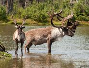 Woodland caribou bull and cow