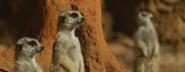 Zoo Anlanta Meerkats