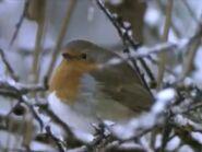 BEBS European Robin