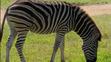 CITIRWN Zebra