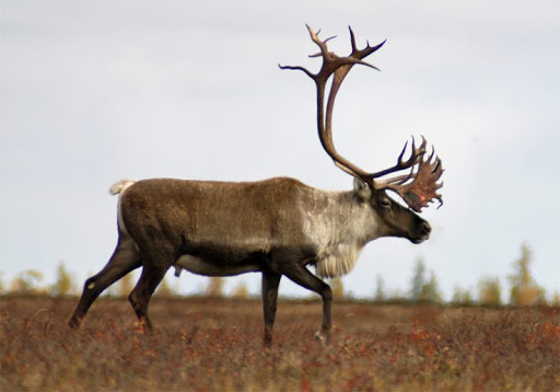 Barren-Ground Caribou