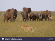 Cheetah-walking-in-front-of-elephants-B75WP9