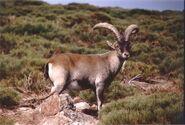 Ibex, Spanish