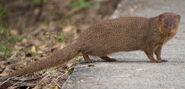 Mongoose, Javan