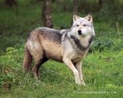 Northwestern Wolf Canis lupus occidentalis 5.jpg
