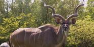 Toledo Zoo Kudu