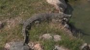 Toledo Zoo Nile Crocodile