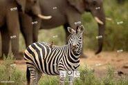 Zebras ELephants and Oxpeckers