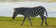 African Lion Safari Zebra