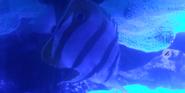 Akron Zoo Butterflyfish