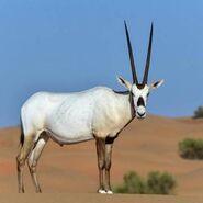Arabian Oryx (V2)