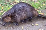 Beaver, North American