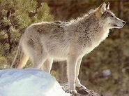 Canis lupus nubilus
