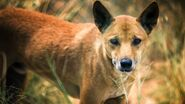Dingo, Australian