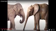 Eyewitness African Elephants and Asian Elephants