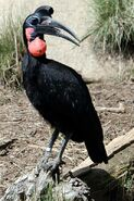 Ground Hornbill (Abyssinian)