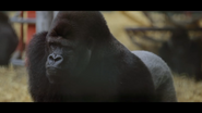 Howlett's Wild Animal Park Gorilla
