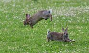 Male and Female Eastern Cottontail Rabbits