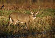 Marsh Deer (Buck)