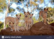 Pack of dingos