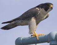 Peregrine Falcon w02-50-103 l