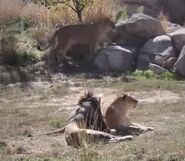 South african lion in denver zoo