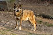 Wolf, Eastern
