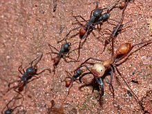 Guarder the Ant
