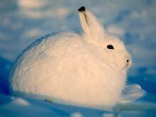 Arctic-hare 218 600x450.jpg