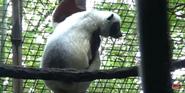 Cincinnati Zoo Sifaka