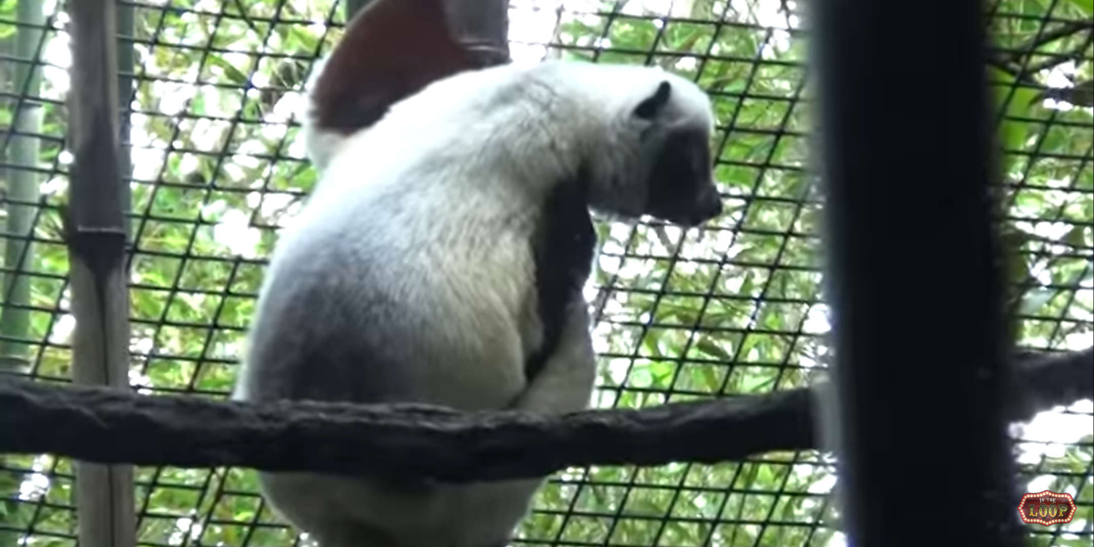 Abigail the Coquerel's Sifaka