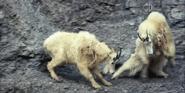 Dinosaur Train Mountain Goats