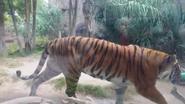 El Paso Zoo Tiger
