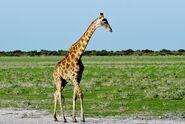 Giraffe, South African