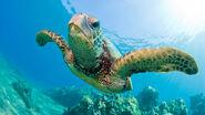 Green-sea-turtle-swimming