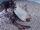 Japanese Swellshark