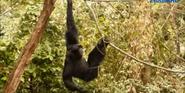 Woodland Park Zoo Siamang