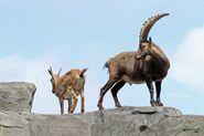 Alpine Ibex Billy and Nanny