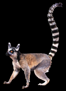 Beast blender ring-tailed lemur