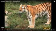 Brookfield Zoo Tiger