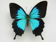 Butterfly, Ulysses