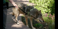 CITIRWN Wolf