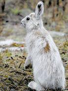 Hare, Snowshoe (V2)