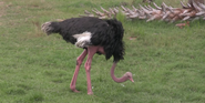 Jacksonville Zoo Ostrich