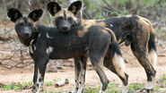 Male and female African wild dogs