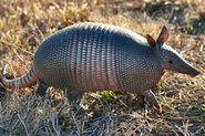 Nine-banded-armadillo-images