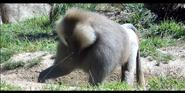 San Diego Zoo Baboons