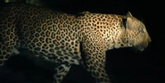 Singapore Zoo Leopard