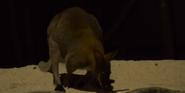 Singapore Zoo Wallaby