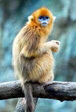 Snub-Nosed Monkey.jpg